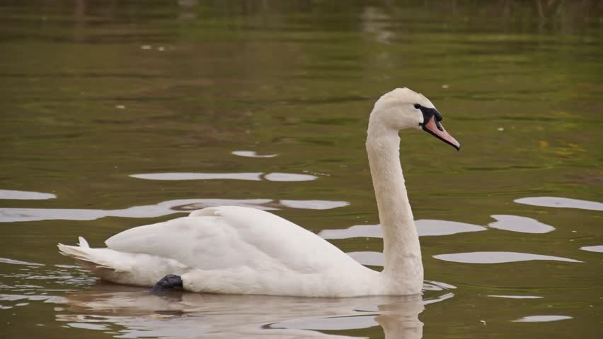 Swan in brown dirty lake  - HD stock footage clip