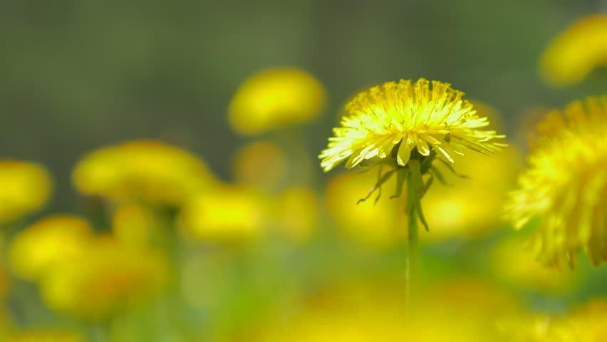 contemporary dandelion head floral - photo #24