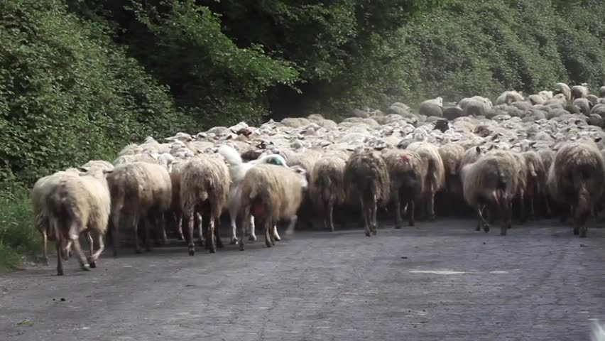 Video clip of shepherd dogs pushing ahead an enormous sheep herd on a country road.