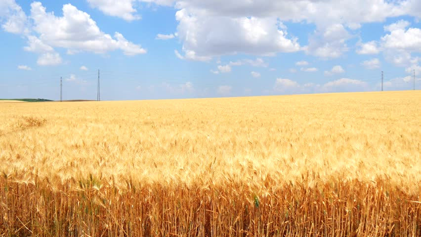 Wallpaper Field 4k Hd Wallpaper Wheat Spikes Sky: Ripe Wheat Field, Blue Sky, White Clouds (4K) Stock