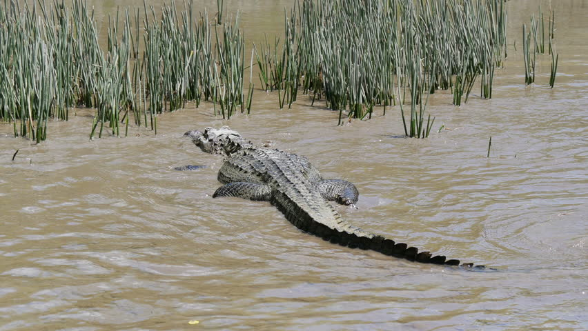?rocodile in the river