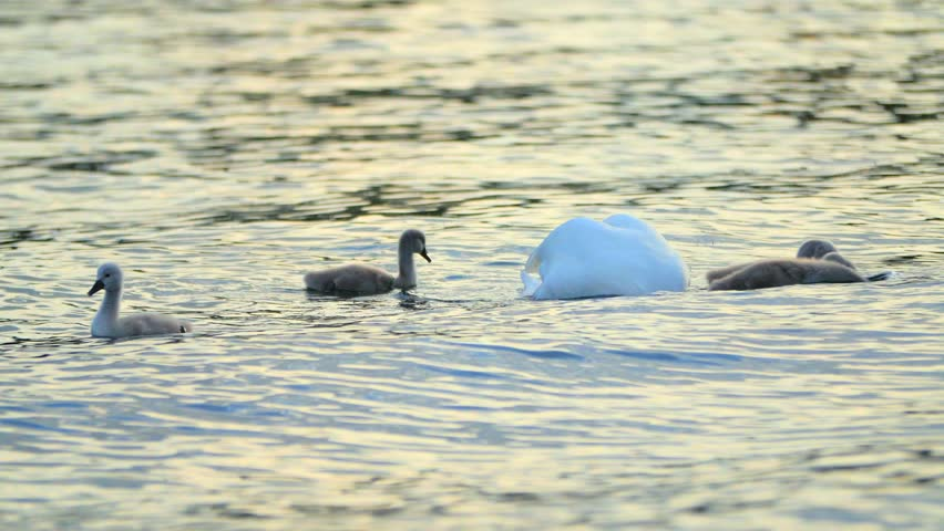 Family of swans - 4K stock footage clip