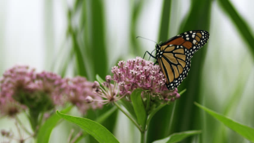High definition closeup of a monarch butterfly in slow motion. - HD stock video clip