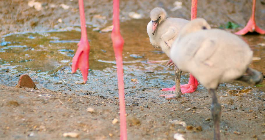 Sleepy small chicks of pink flamingo on river shore - 4K stock video clip