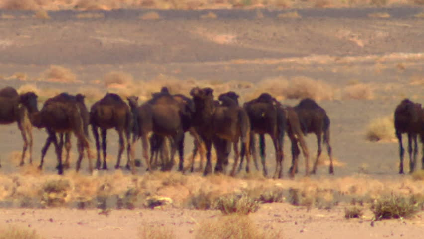Camels in desert - HD stock video clip
