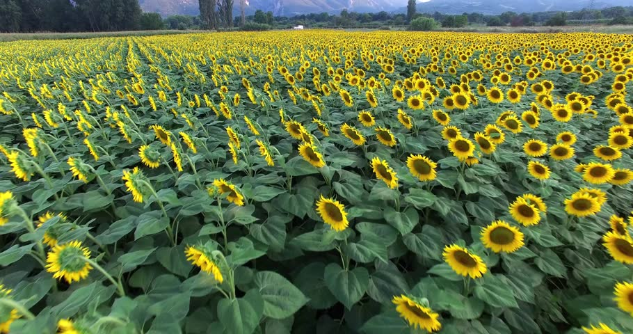 aerial view of sunflower field