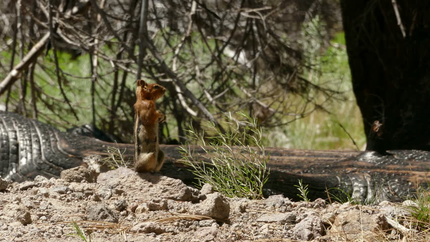 A Ground Squirrel on Alert for Danger then running away.