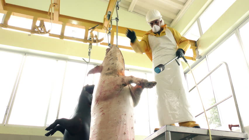 Swine singeing process in a slaughterhouse by a worker on rail with quality mark on the foreground animal