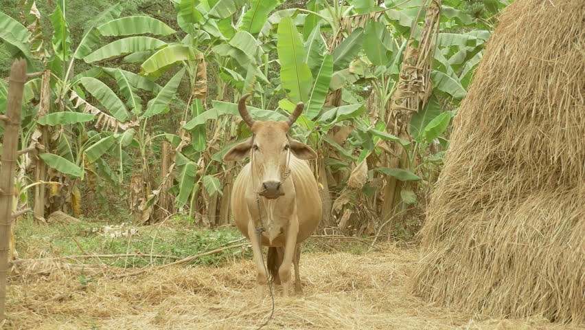Pregnant brown cow standing next to the haystack , southeast asia, cambodia