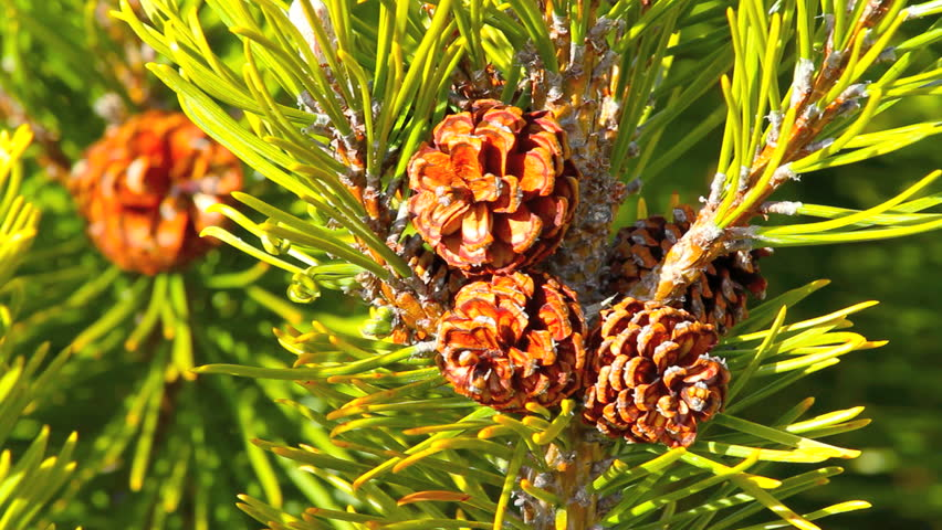 Light Spring morning wind blows though the evergreen trees. Closeup of pine cones and needles
