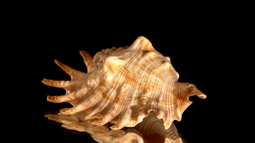 Light brown sea shell on black background, rotation, reflection, close up