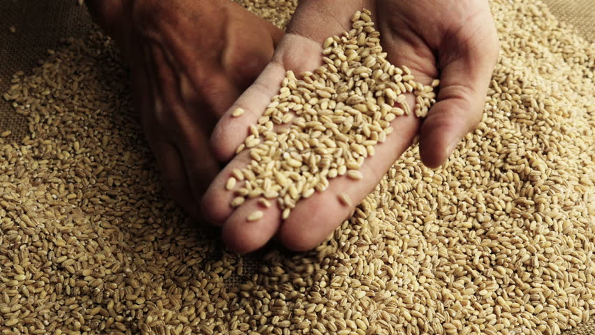 Grain in the hands. Man hands holding barley grain. Close-up.