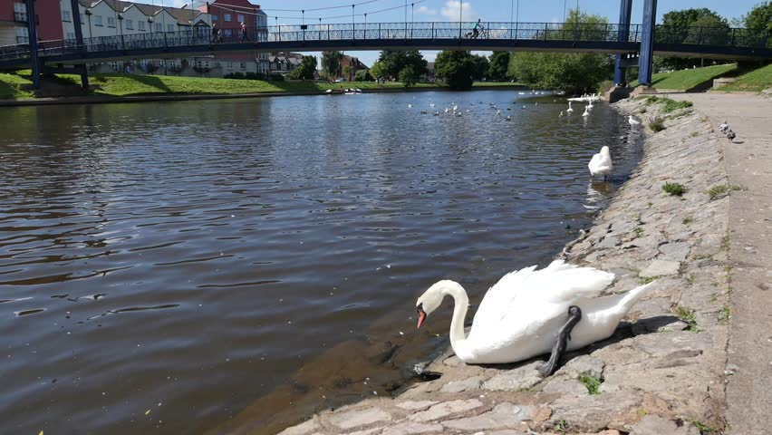 Exeter, Devon, UK – August 18th 2015: The waterfront on Exeter Quay, swans on the river Exe.  - 4K stock footage clip