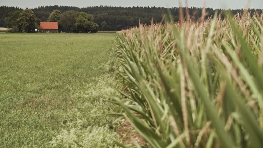 Open field with Corn crops HD stock footage. Landscape shot with corn crops, trees and green grass. ProRes.