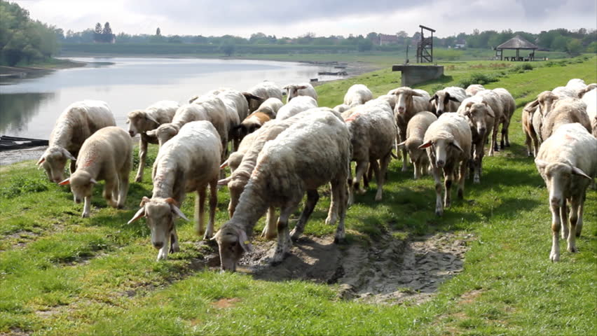 Sheep graze along the river - HD stock footage clip