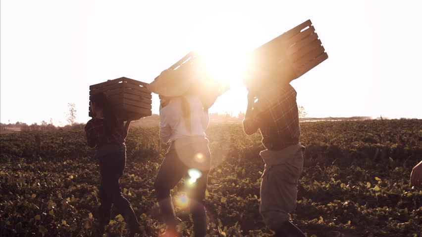 4k steadicam shot of farmers and workers carrying and loading baskets full of produce on the farm with sun flare.