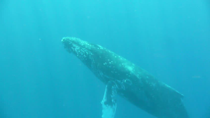 Hawaiian Humpback Whale swims close to camera, then swims away. - SD stock video clip