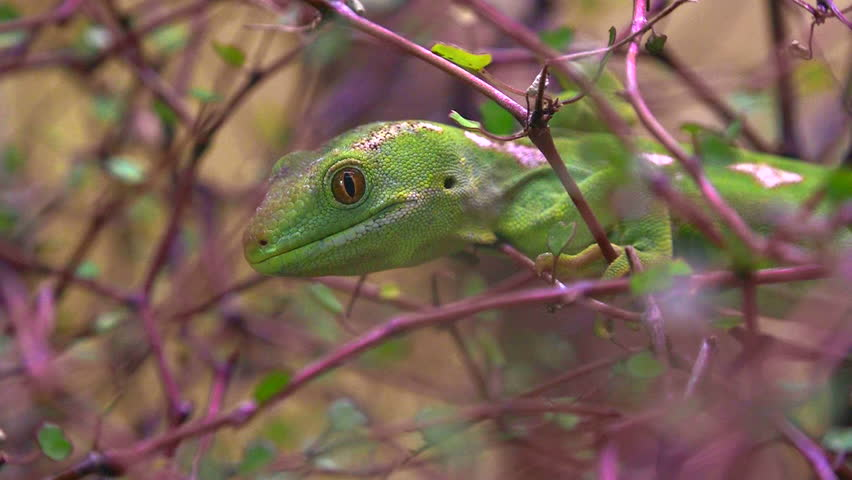 A rare Northland green gecko,Naultinus grayii, New Zealand.it is one of the rarest and most highly sought after lizards.
