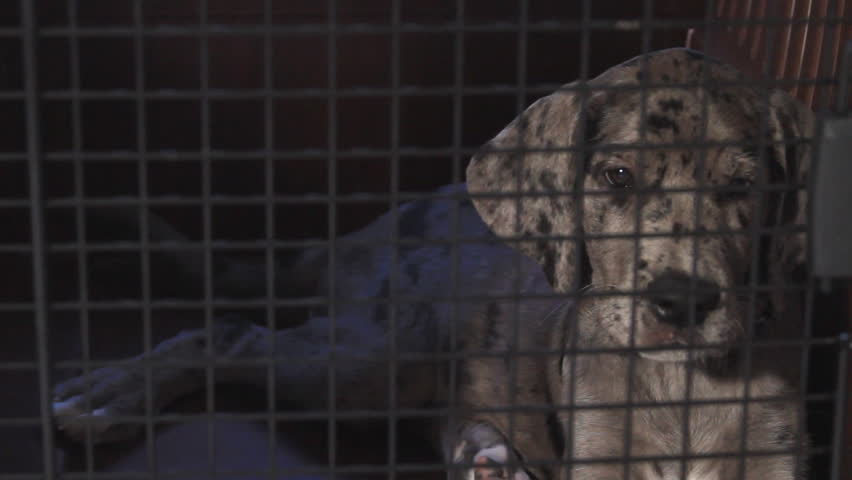 Great Dane Puppy in a cage  - HD stock video clip