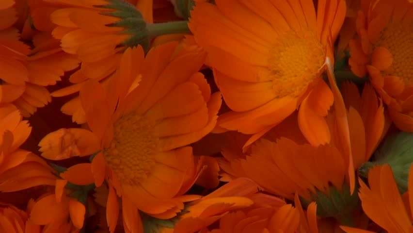 Freshly picked calendula prepared for drying on straw material