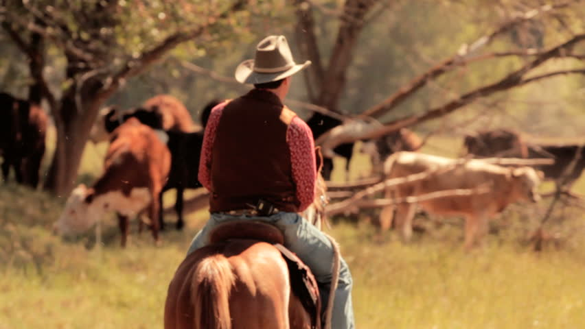 Cowboy and Cattle