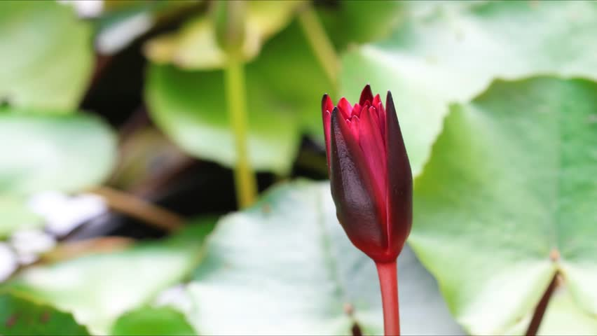 time lapse, lotus blooming, hd