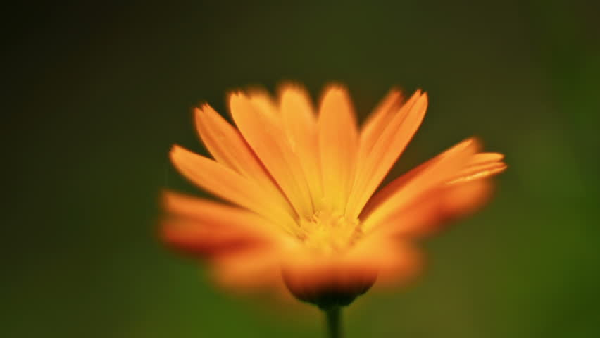 marigold flower macro shut tilt shift lens with a bug time lapse HD video