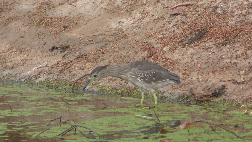 The striated heron Butorides striata, mangrove heron, little heron or green-backed heron, are mostly non-migratory birds. Their breeding habitat is small wetlands.  - 4K stock video clip