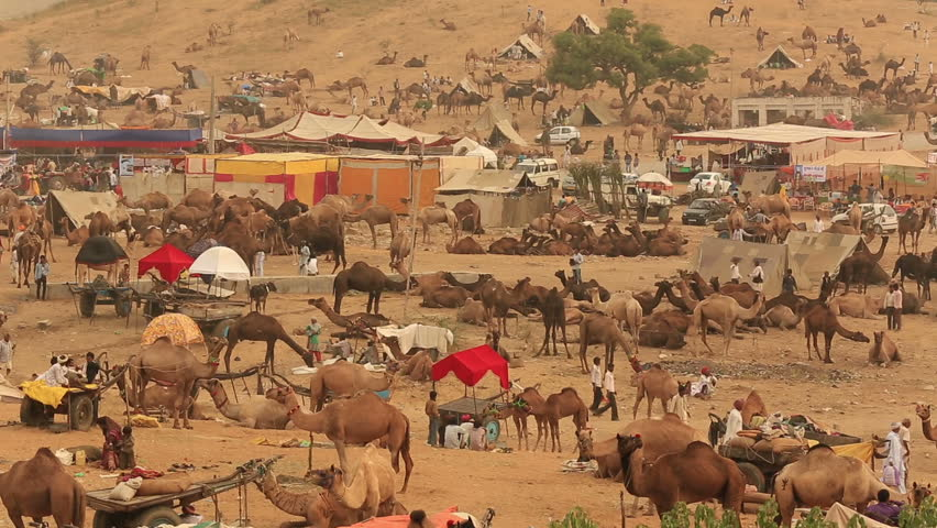 PUSHKAR,INDIA - CIRCA November,2014 :Unidentified indian people and tourists walk and stand around the camels as a livestock in Pushkar, India.Pushkar Mela is the biggest cattle market in the world   - HD stock video clip