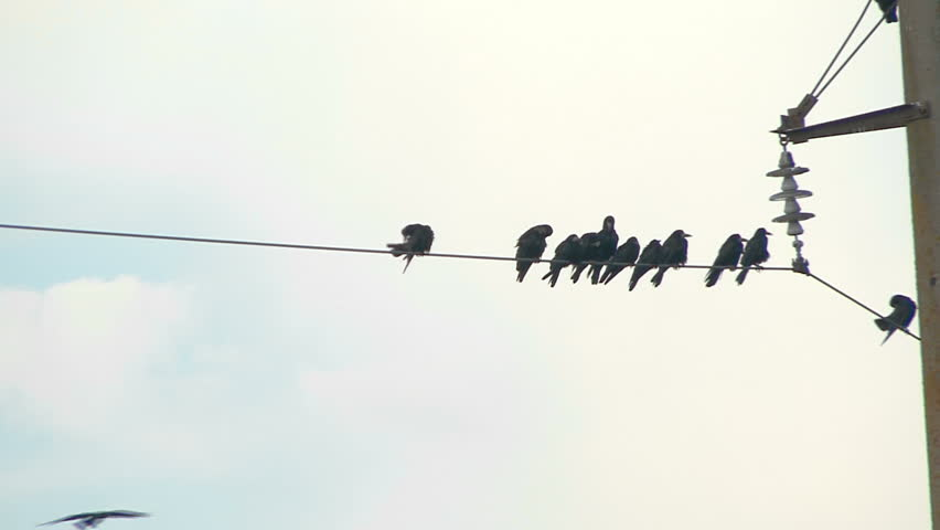 Raven Flock Flock of Ravens on a Wire