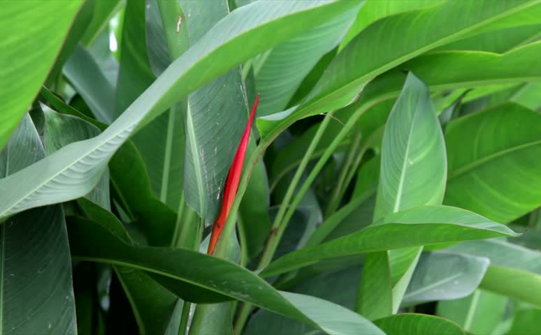 Header of Alpinia Officinarum