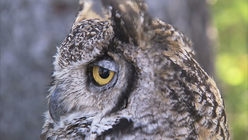 hd great horned owl - photo #11