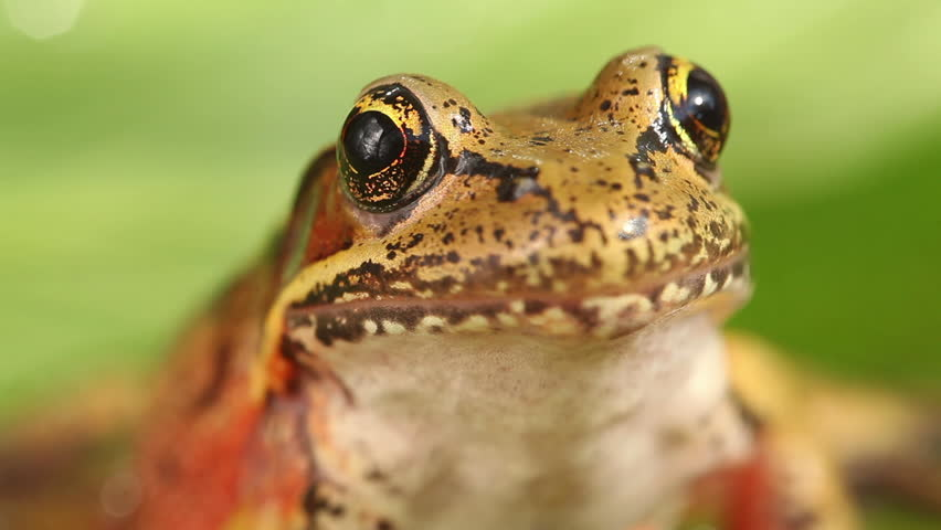 Cinemagraph - Tree frog closeup. Looping Motion Photo.