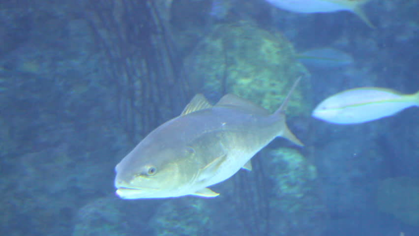Fish swimming in the water by rocks stock footage video for Fish swimming video