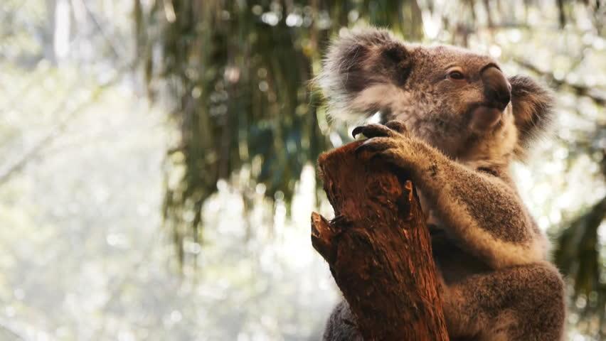 Koala bear sitting in a tree looking around.
