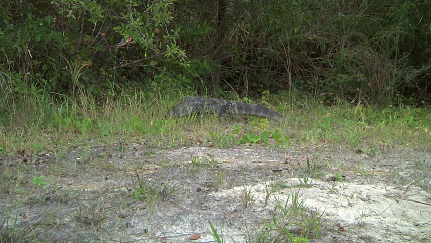 Monitor (lizard) Walking