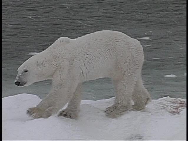 A camera tracks a polar bear as it walks along an icy, snow-covered shore in Churchill, Alaska.
