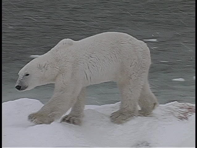 A camera tracks a polar bear as it walks along an icy, snow-covered shore in Churchill, Alaska.