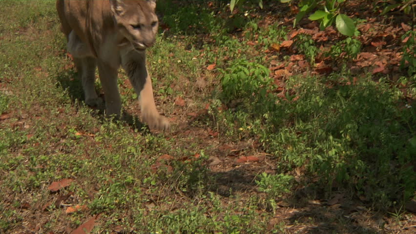 Florida panther walks past camera - HD stock footage clip
