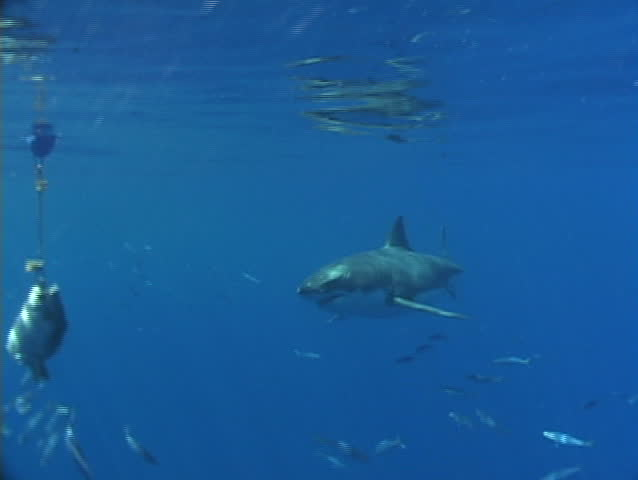 Great white shark eating a tuna head - SD stock video clip