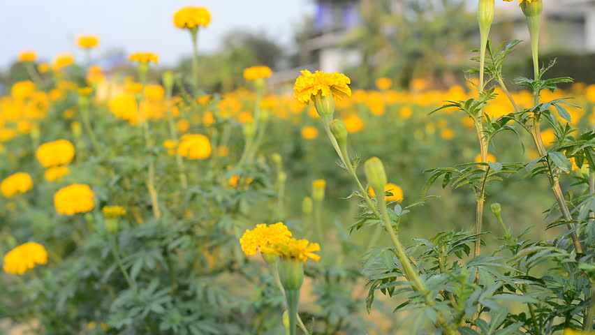 Header of African marigold