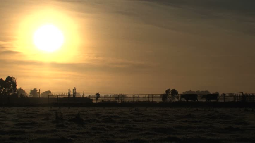 Cows walking out of the farm with sunrise - HD stock video clip