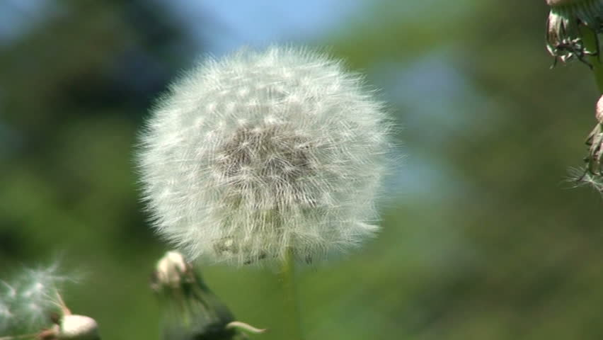 Dandelion (Sowthistle) one  - HD stock footage clip
