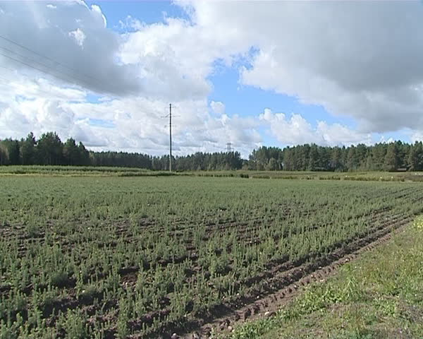 Field planted with small evergreen Christmas tree fir saplings. Forest planting. Clouds in sky.