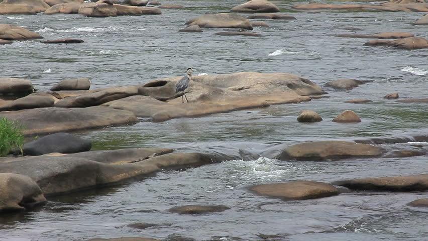 Landscape of blue heron walking on river rocks and wading for Landscaping rocks you can walk on