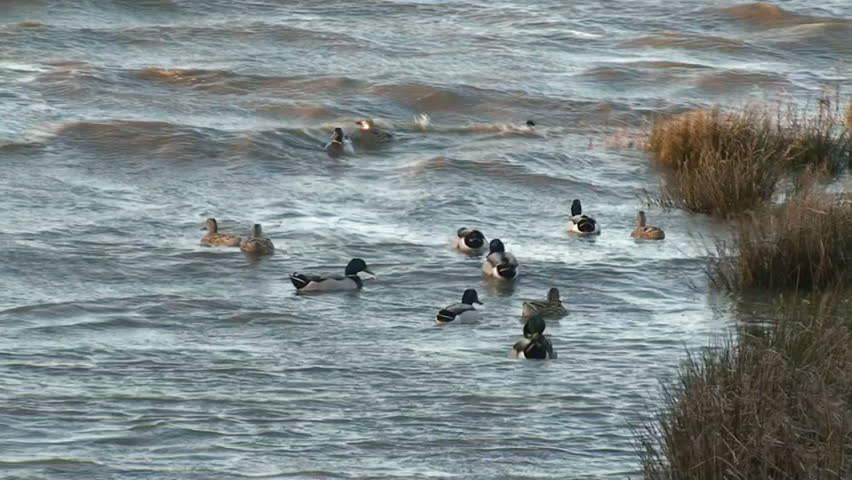 Nice Flock Ducks Swimming In Rough River Stock Footage ...