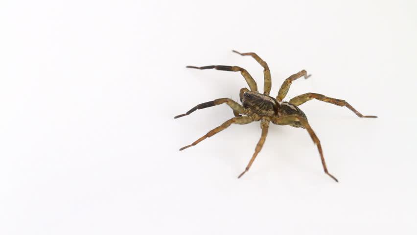 Male Trochosa ruricola (Rustic Wolf-spider) spider on a neutral white background, part of the family Lycosidae - Wolf spiders - HD stock footage clip