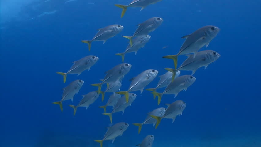 School of horse eye jack fish swimming in open ocean stock for Fish swimming video