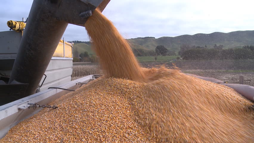 harvested corn being transferred to a truck