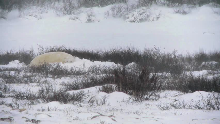 Wild polar bear enjoys pushing and rolling in the finally arrived snow